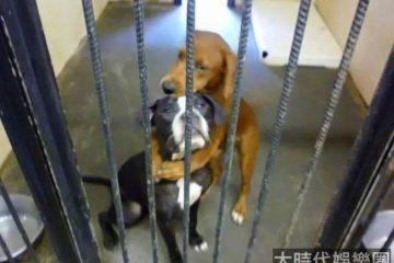 即將被安樂死的兩隻狗狗抱在一起,這個擁抱徹底改變了它們的命運